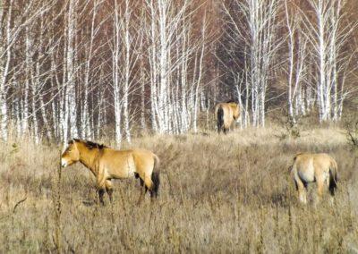 Černobylská zóna - Koně Převalského